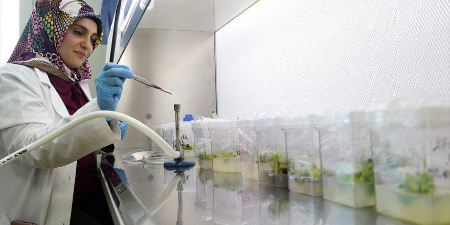 Nesli Tükenmekte Olan Bitkiler Laboratuvarda Yetiştiriliyor
