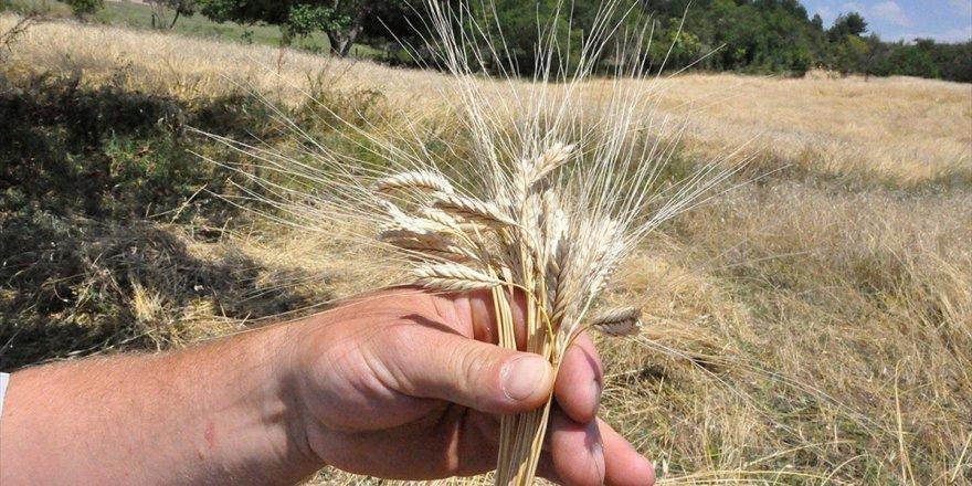 10 Bin Yıllık Siyez Buğdayının Ekim Alanları Yaygınlaştırılacak