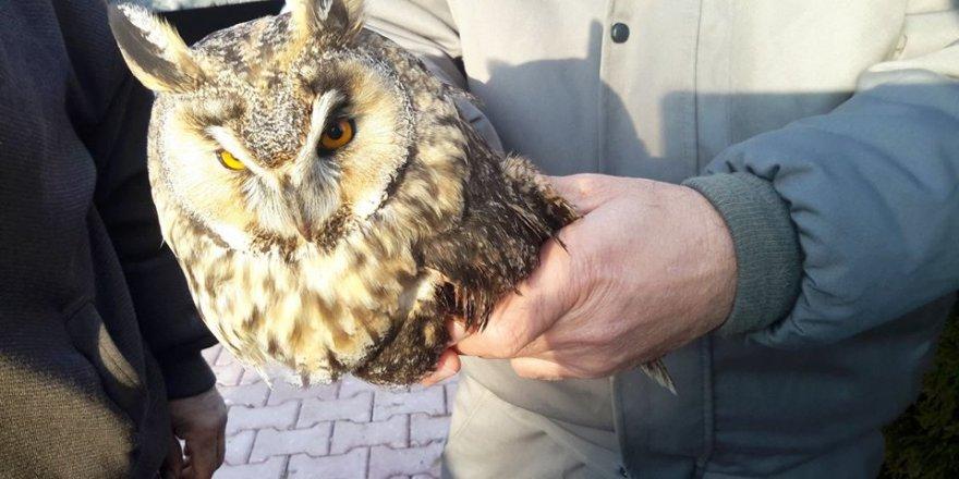 Hasta Kulaklı Orman Baykuşu Tedaviye Alındı