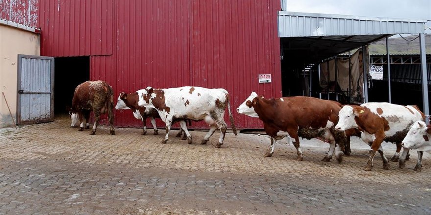 Geçen Yıl En Çok Süt Üreten İl Konya Oldu