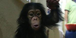 Şempanzeler Su İçmek İçin 'Pipet' Yapıyor
