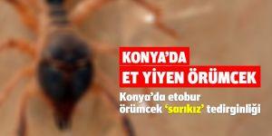 Konya'da etobur örümcek 'sarıkız' tedirginliği