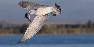 Çin Sazanı Kuşlara Besin Oluyor