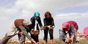 Başkan Toru, kadın işçilerle havuç söktü