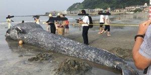 Ölü dev mavi balina Japonya sahillerine vurdu
