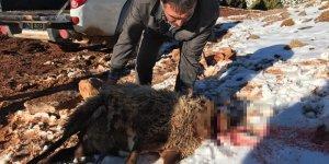 Çoban uyudu, koyun sürüne kurtlar saldırdı