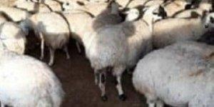 Ereğli'de ağıldan koyun hırsızlığı