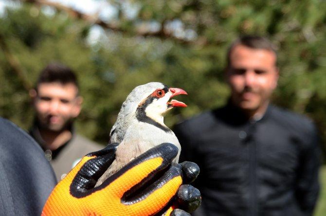 Kaçak avlanan keklikler doğaya bırakıldı