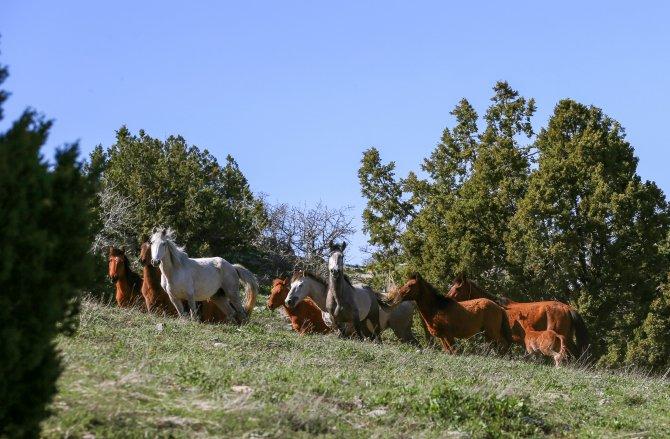 Yılkı atları koloni halinde görüntülendi