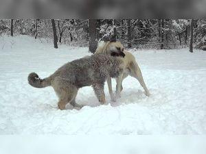 """Kangalların """"imdadı""""na karla mücadele ekipleri yetişti"""