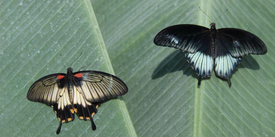 Çift cinsiyetli kelebek büyük ilgi gördü