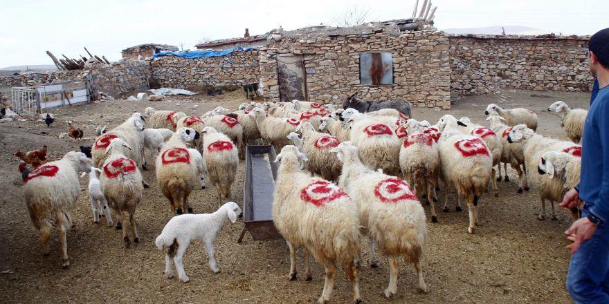 Vatan sevgisini koyunlarına aşıladı