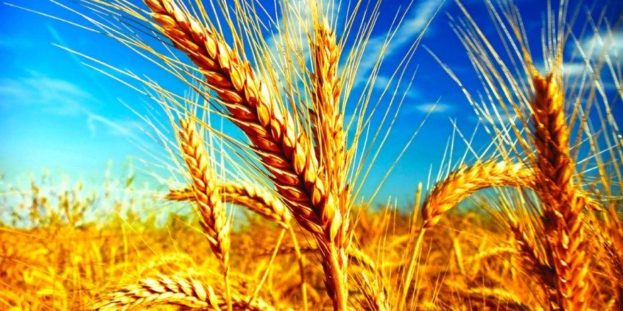 Buğdayın yetişme süresini 60 güne indirdiler