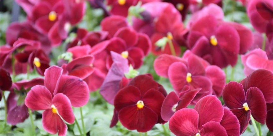 Kış çiçekleri 'termal su' ile yetişiyor