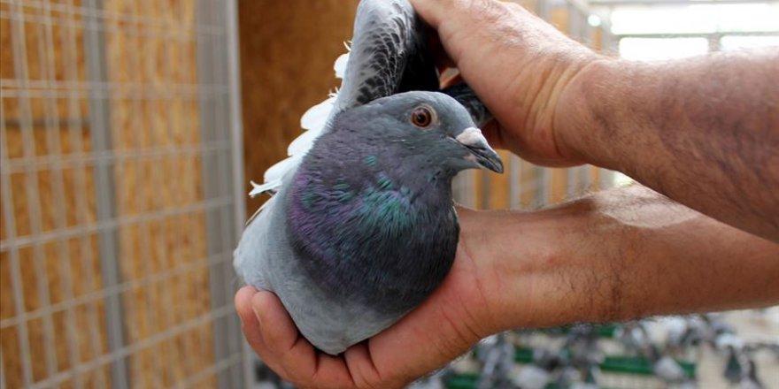 Posta güvercinleri 'bilinçsiz avcılık' kurbanı
