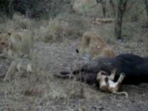 Yavru aslan, avının poposuna fena sıkıştı!