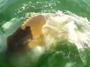Köpek balığı bu kez av oldu