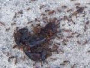 Karıncalar akrebi böyle taşıdı