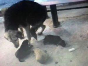 Mazgalda sıkışan yavrularını böyle bekledi